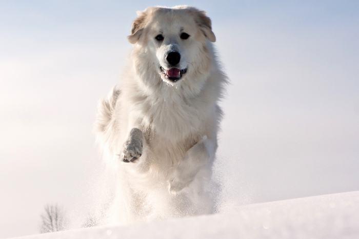 бег пса по снегу