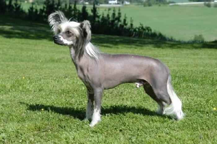 Катайская хохлатая собака