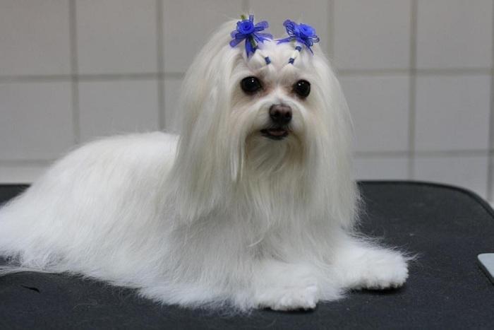 Собака породы Мальтийская болонка
