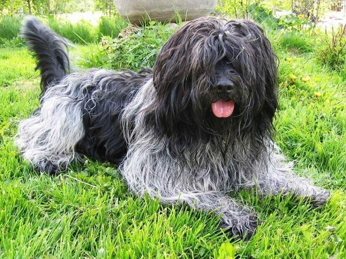 Собака породы Шапендус