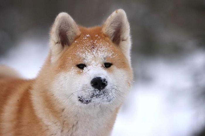 Собаки породы Акита-ину