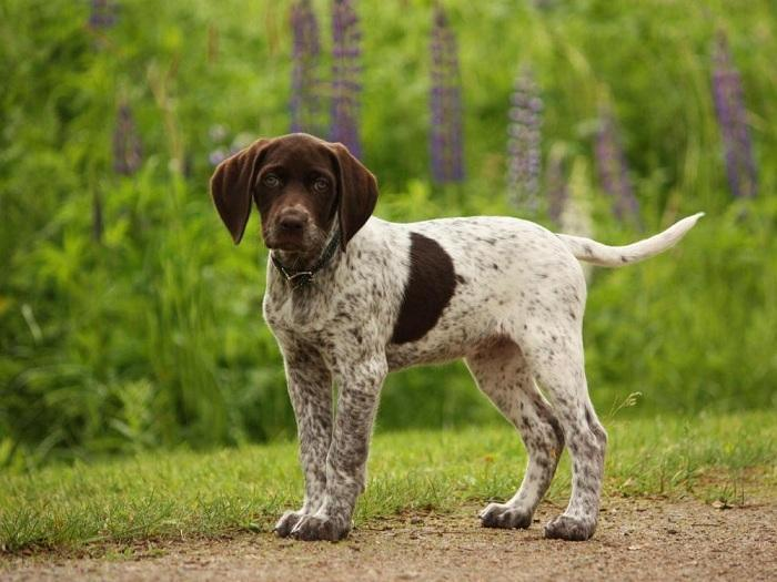 Собака породы Пойнтер
