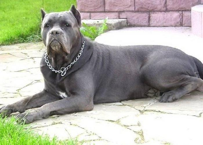 Собаки породы Кане-корсо