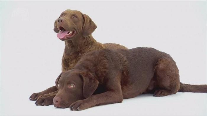 Собака породы чесапик бэй ретривер