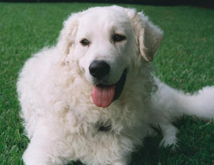 Собака породы венгерский кувас