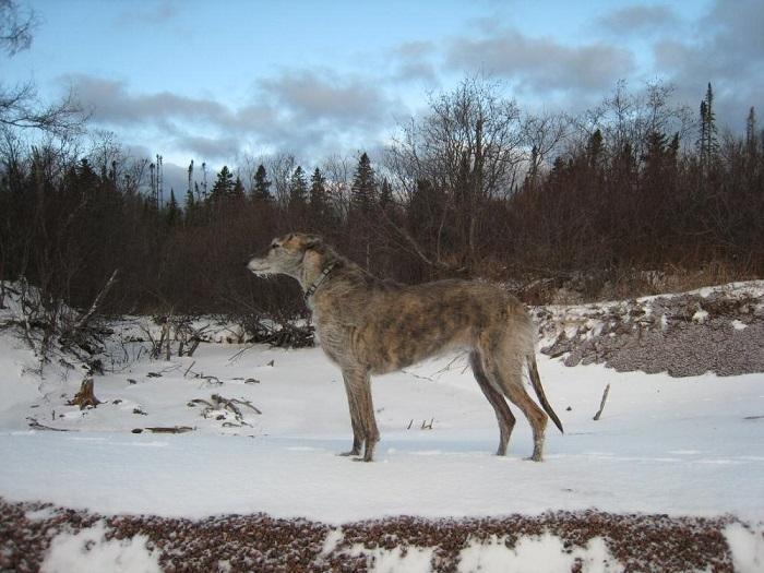 Собака породы американская оленья собака