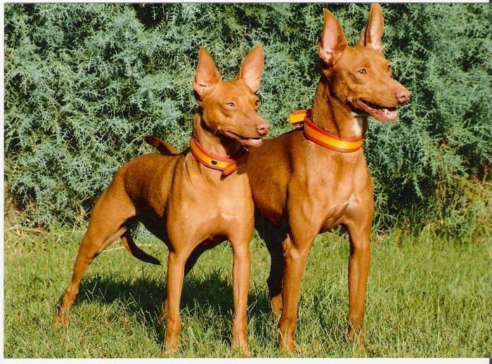 Собака породы поденко андалуз
