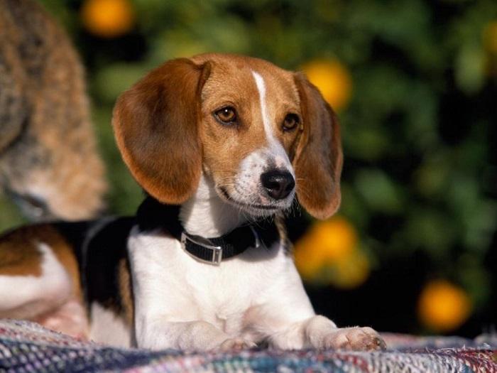 Собака породы американский фоксхаунд
