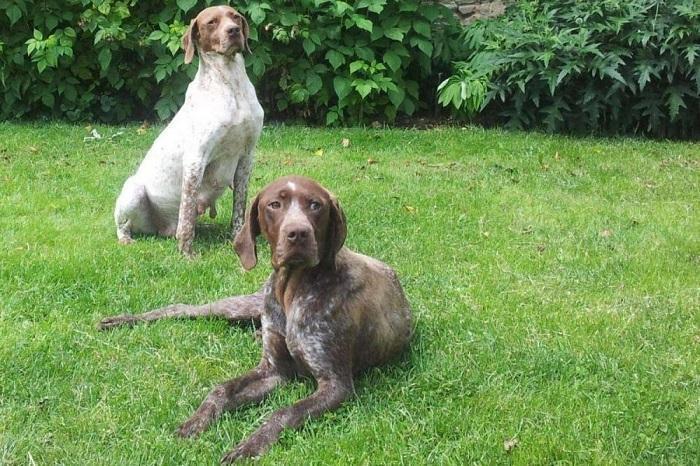 Собака породы французская гончая