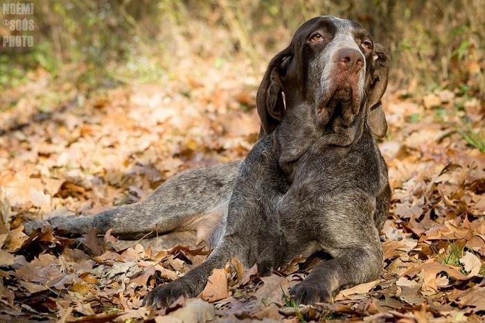 Собака породы бургосская легавая