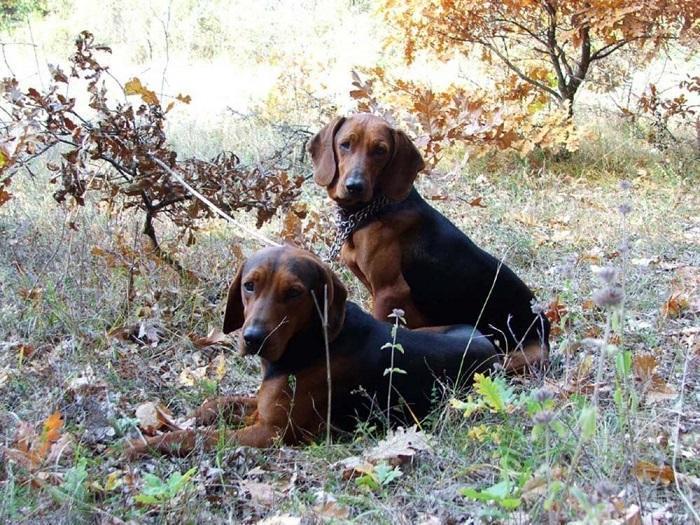 Собака породы балканская гончая
