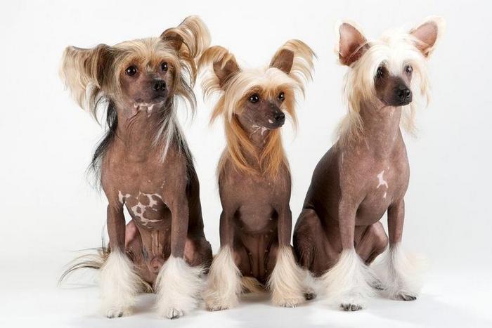 собака породы Китайская хохлатая собака