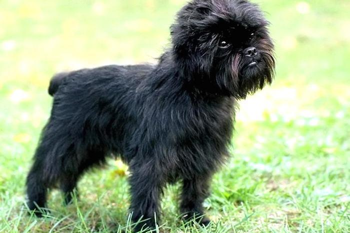 собака породы Аффенпинчер