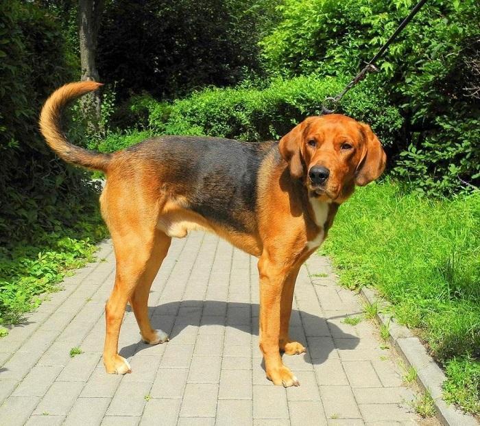 Собака породы польский огар
