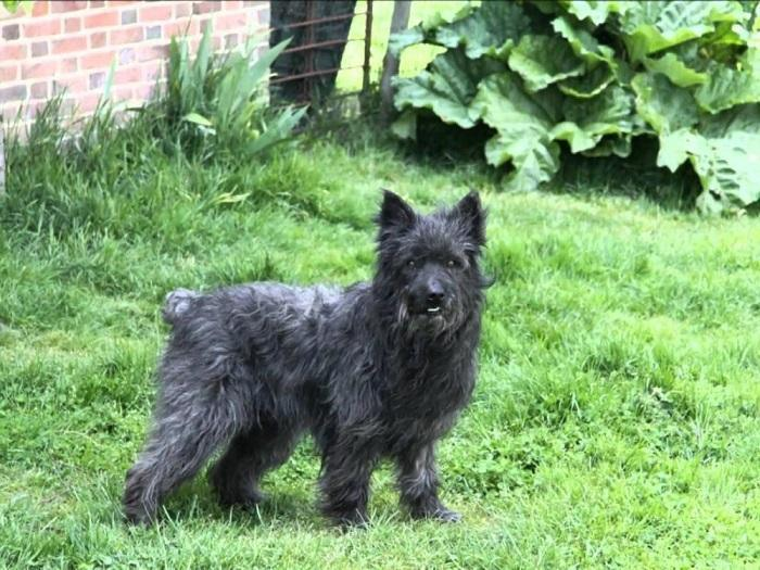 Собака породы арденнский бувье