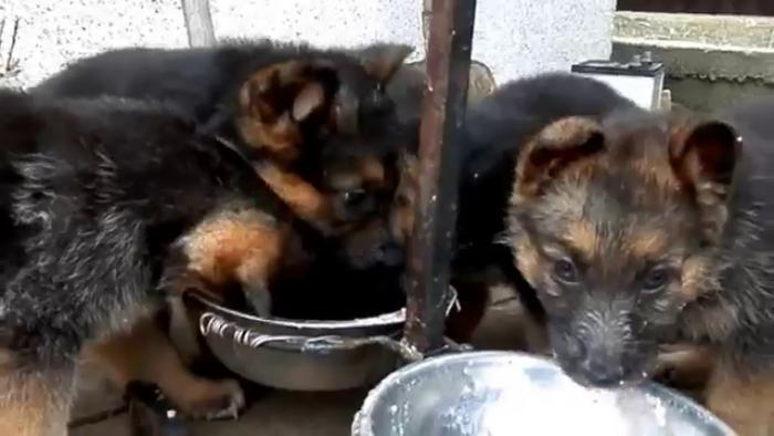 Особенности кормления щенка немецкой овчарки