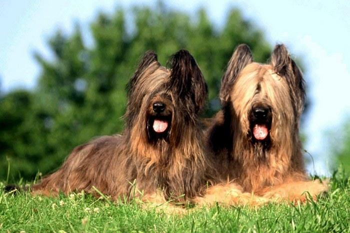 Две собаки породы БРИАР
