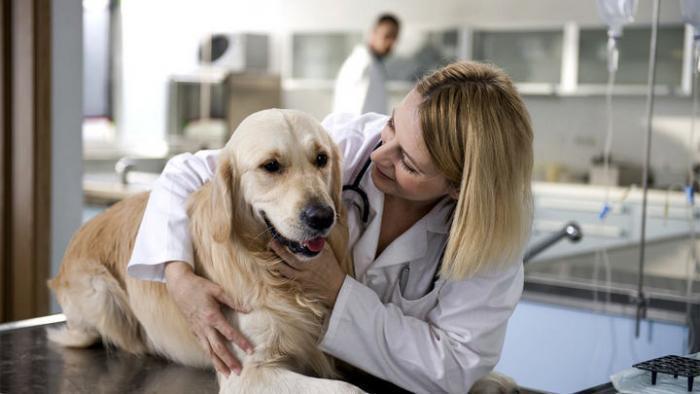 Собака с вывихом лапы у ветеринара