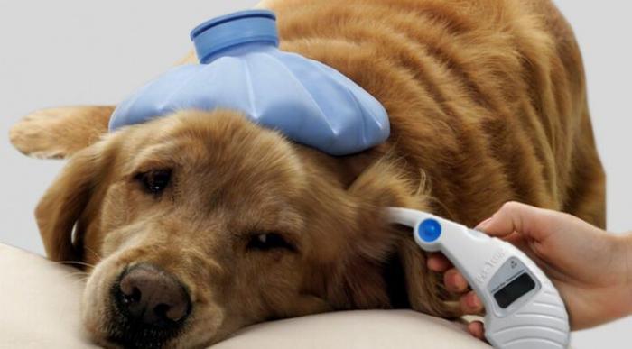 У собаки температура