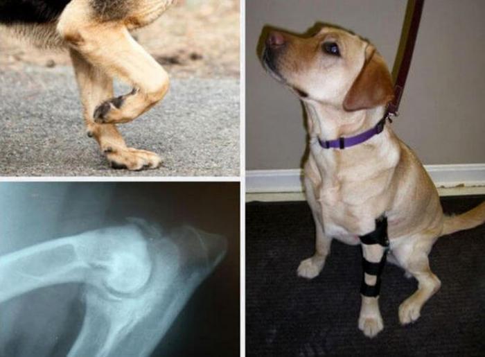 Приобретенный вывих у собаки