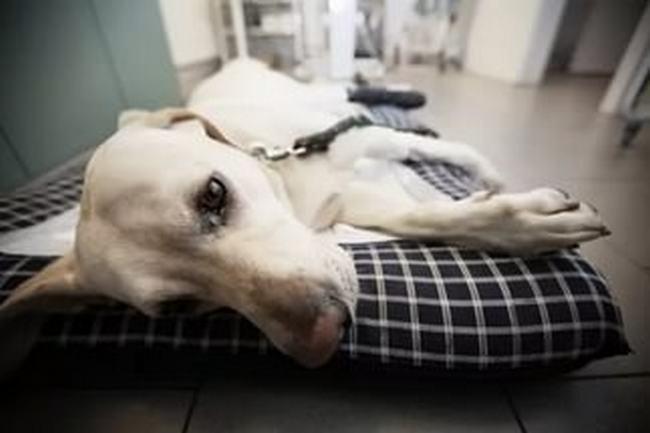 Ишемическая болезнь сердца у собак