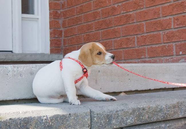 Приучаем щенка к поводку