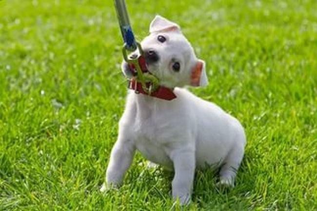 Как приручить щенка к поводку