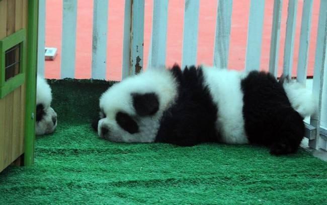 Собака-панда спит