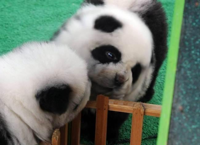 Две собаки-панды