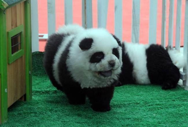 Собака-панда бегает в вольере
