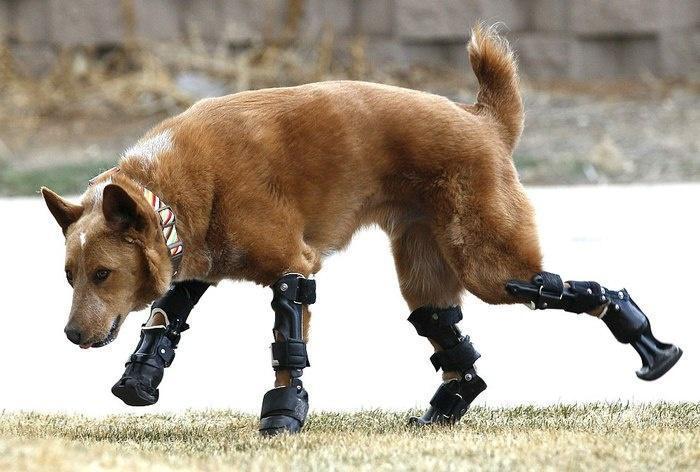 Собака с четырьмя протезами