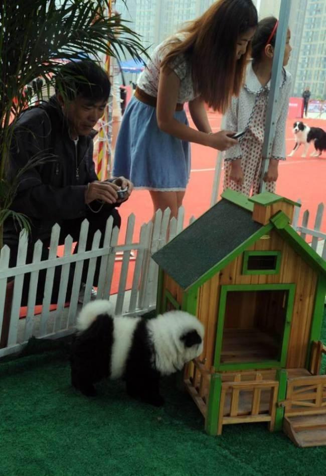 Люди фотографируют собаку-панду