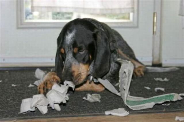 Собака набедокурила одна дома