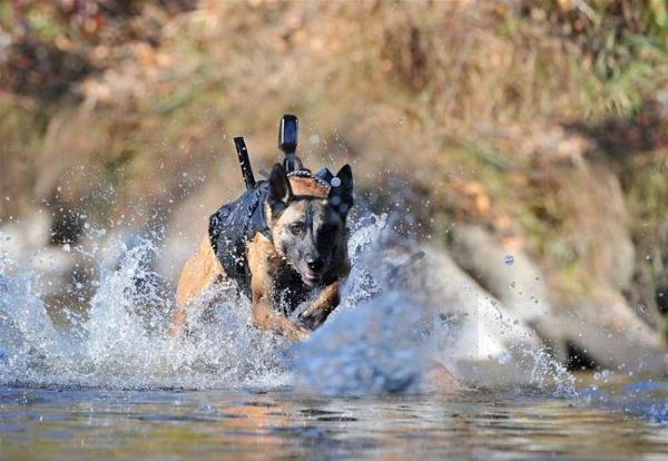 Собака с камерой бежит на задание