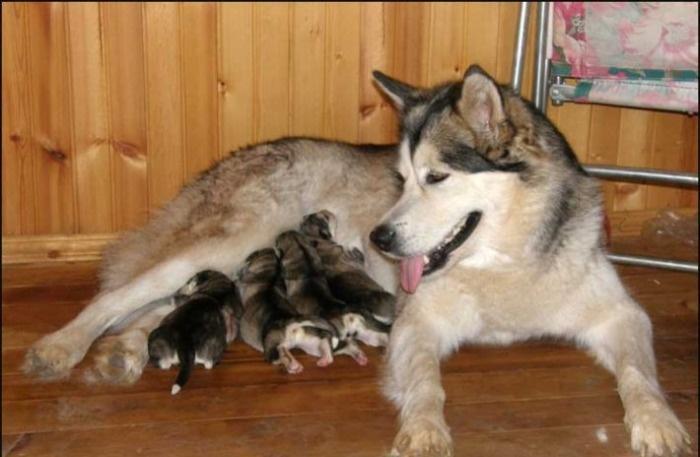 Щенки питаются молоком матери
