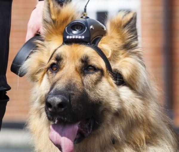 Собака с видеокамерой на голове