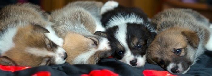 Подросшие щенки