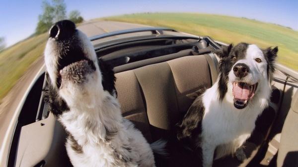 собаки в кабриолете