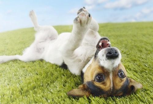 собака валяется на траве