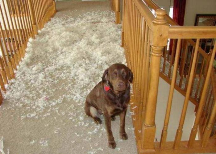 Собака устроила беспорядок дома