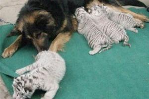 Овчарка  с усыновленными тигрятами