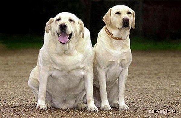 толстый и с нормальным весом лабрадоры