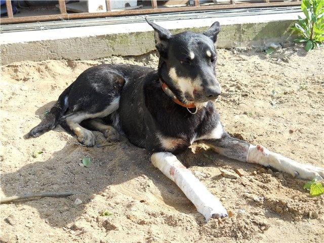 Перелом передних лап у собаки