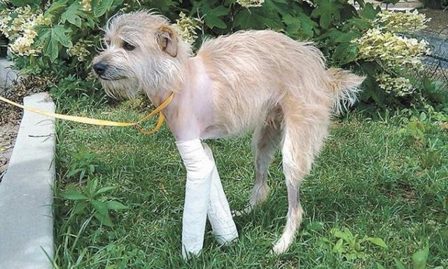 Собака в гипсе на травке