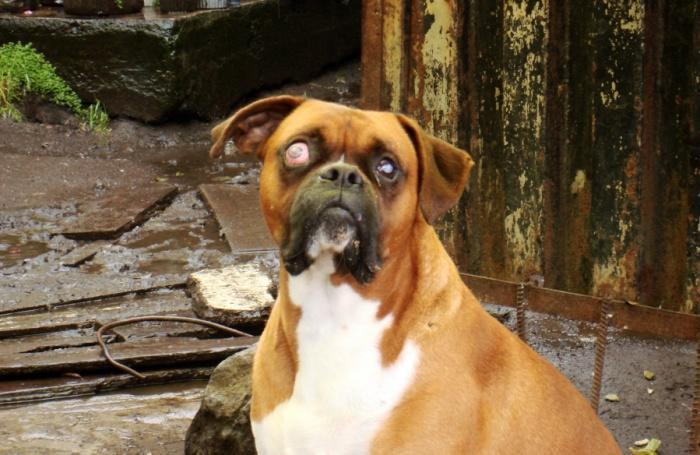 Больная глаукомой собака