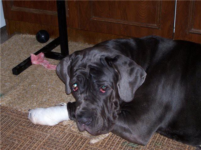 порезанная лапка собаки