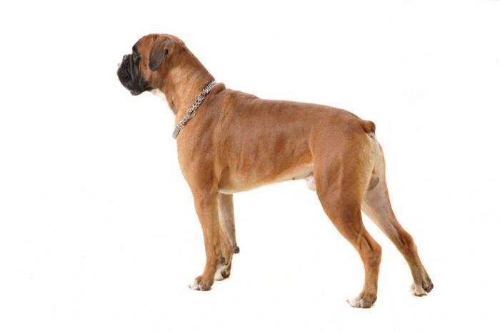 собака с купированным хвостом