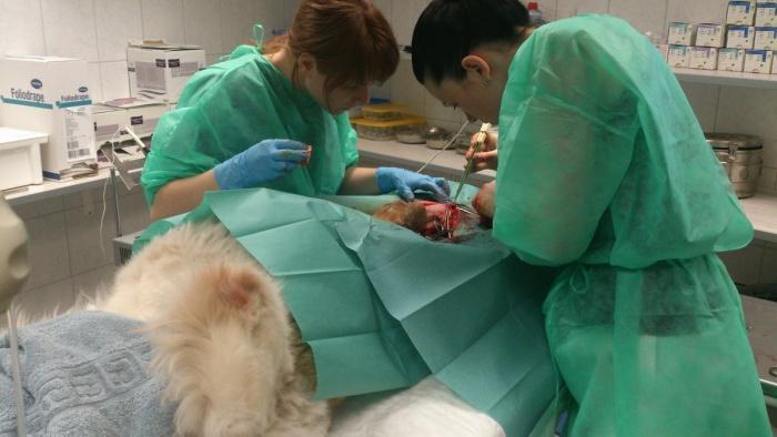 собаке делают операцию