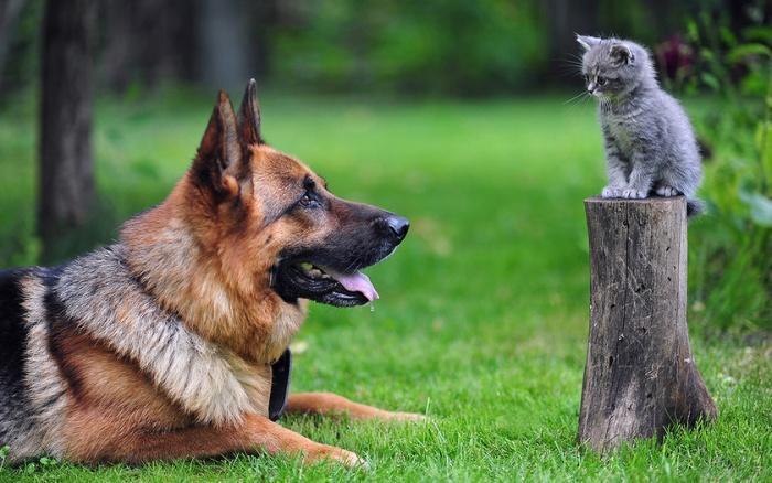 Собака охраняет котенка