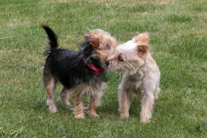 Влюбленные собачки